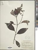 view Psychotria rufiramea Standl. digital asset number 1