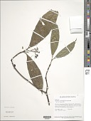 view Psychotria antennaeformis Steyerm. digital asset number 1