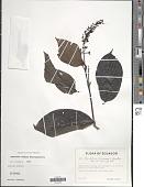 view Psychotria tessmannii Standl. digital asset number 1
