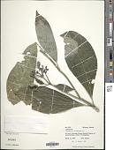 view Psychotria chiapensis Standl. digital asset number 1