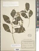 view Psychotria pubescens Sw. digital asset number 1