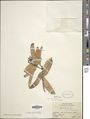 view Ixora casei var. lanceolata (Kaneh.) Fosberg & Sachet digital asset number 1