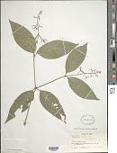 view Psychotria patens Sw. digital asset number 1