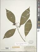 view Psychotria domingensis Jacq. digital asset number 1