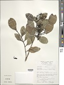 view Psydrax odorata (G. Forst.) A.C. Sm. & S.P. Darwin digital asset number 1