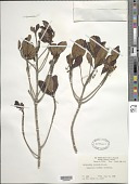 view Phyllomelia coronata Griseb. digital asset number 1