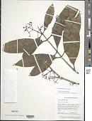 view Ixora ferrea (Jacq.) Benth. digital asset number 1