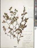 view Scolosanthus lucidus Britton digital asset number 1