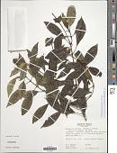 view Psychotria dichroa (Standl.) C.M. Taylor digital asset number 1