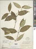 view Psychotria urbaniana Steyerm. digital asset number 1