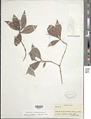 view Psychotria horizontalis Sw. digital asset number 1