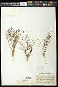 view Euphorbia arizonica Engelm. digital asset number 1