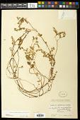 view Euphorbia blodgettii Engelm. ex Hitchc. digital asset number 1