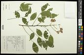 view Millettia congestiflora T. C. Chen digital asset number 1