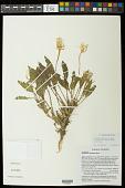 view Oenothera cespitosa subsp. navajoensis W.L. Wagner et al. digital asset number 1