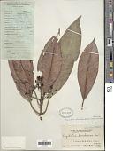 view Psychotria catanduaniensis Sohmer & A.P. Davis digital asset number 1