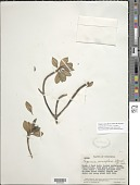 view Pagamea pauciflora Standl. & Steyerm. digital asset number 1