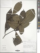 view Palicourea anderssoniana C.M. Taylor digital asset number 1