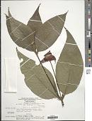 view Psychotria poeppigiana subsp. barcellana (Müll. Arg.) Steyerm. digital asset number 1