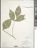 view Rudgea cornifolia (Kunth ex Roem. & Schult.) Standl. digital asset number 1