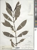view Lasianthus inodorus Blume digital asset number 1
