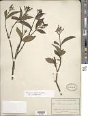 view Palicourea croceoides Desv. ex Ham. digital asset number 1