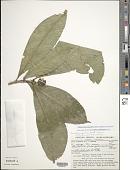 view Psychotria paupertina Standl. & Steyerm. digital asset number 1