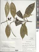 view Rudgea citrifolia (Sw.) K. Schum. digital asset number 1