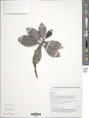 view Psychotria merrillii Kaneh. digital asset number 1