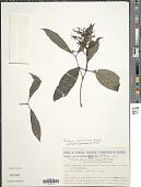 view Rudgea jasminoides subsp. corniculata (Benth.) Zappi digital asset number 1