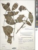 view Ronabea latifolia Aubl. digital asset number 1