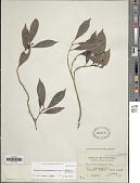 view Psychotria palimlimensis Sohmer & A.P. Davis digital asset number 1