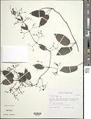 view Paederia foetida L. digital asset number 1