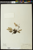 view Pleopeltis michauxiana (Weath.) Sprunt & Hickey digital asset number 1