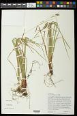 view Carex debilis var. debilis digital asset number 1
