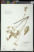 view Euphorbia chamissonis (Klotzsch ex Klotzsch & Garcke) Boiss. digital asset number 1