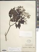 view Psychotria diffusa var. diffusa digital asset number 1