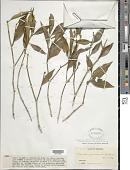 view Rudgea laurifolia (Kunth) Steyerm. digital asset number 1