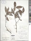 view Psychotria sordida Thwaites digital asset number 1