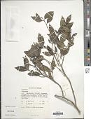 view Lasianthus sp. digital asset number 1