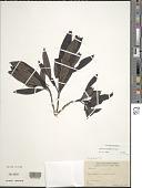 view Coprosma longifolia A. Gray digital asset number 1