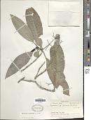 view Psychotria furcans Fosberg in A.C. Sm. digital asset number 1