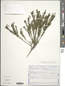view Declieuxia diamantinae J.H. Kirkbr. digital asset number 1