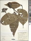 view Palicourea iquitoensis K. Krause digital asset number 1