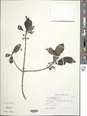 view Coprosma kauensis A. Heller digital asset number 1