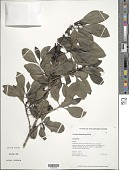 view Coprosma rhynchocarpa A. Gray digital asset number 1