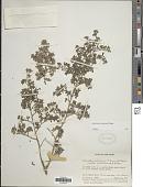 view Dolianthus subalpinus (P. Royen) A.P. Davis digital asset number 1