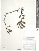 view Psychotria aligera Steyerm. digital asset number 1