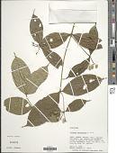 view Faramea anisocalyx Poepp. & Endl. digital asset number 1