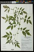 view Solanum sp. digital asset number 1